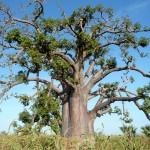 Baobab, emblème du Sénégal