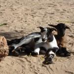 Petites chèvres au village