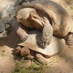 Accouplement de tortues